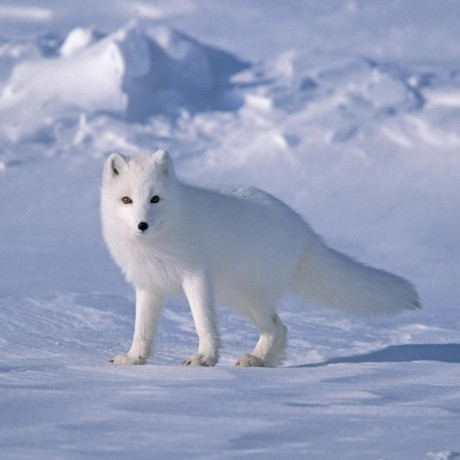 Svět zvířat - Fotoalbum - Zvířata - Liška polární 7f911a0a3c